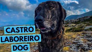 Cão de Castro Laboreiro  TOP 10 Interesting Facts
