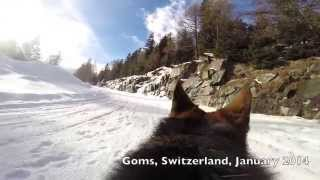 Go Pro Dog - German Shepherd -yorkshire Terrier - Border Collie