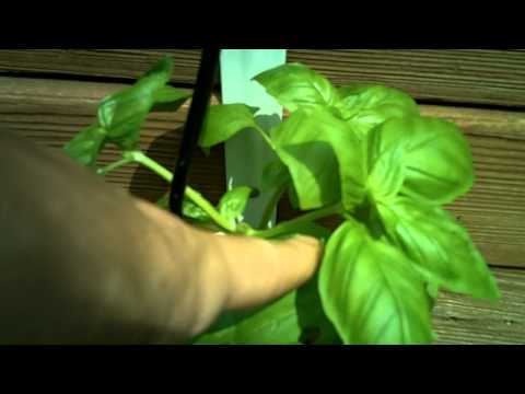 Tip On How To Make Your Basil Plants Bushier.