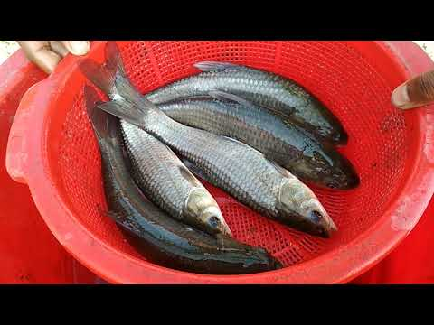 Black Carp Fish Farming