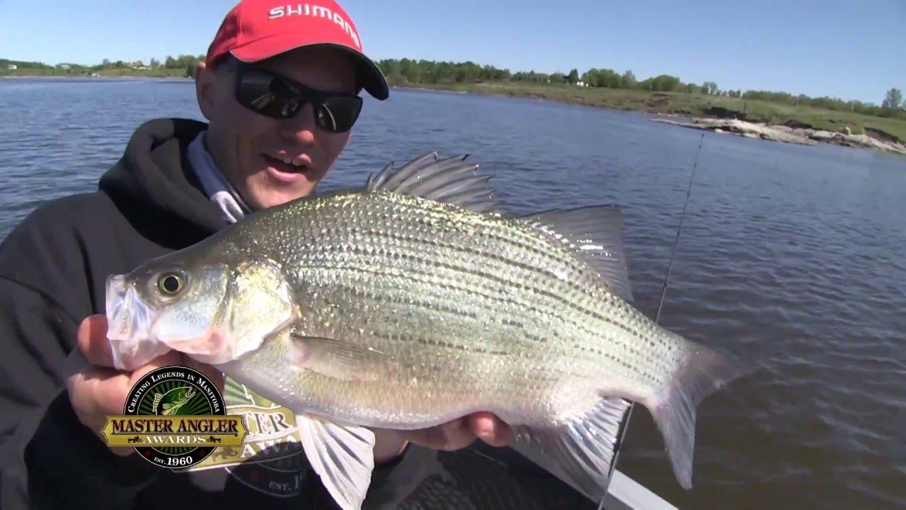 Huge White Bass Fishing In Manitoba Manitoba Master