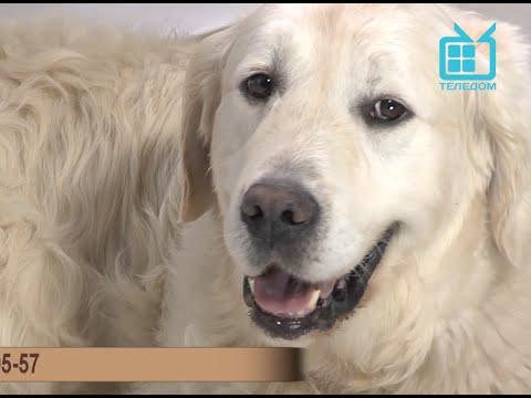 Test.tv: Все для животных. Золотистый ретривер – самая популярная порода в мире