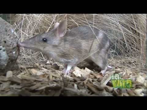 Act Wild for Eastern Barred Bandicoots
