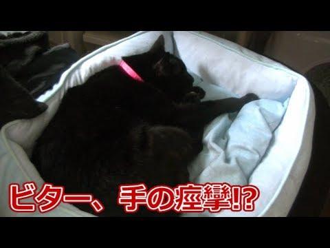 黒猫ビター、手が痙攣してる!?(面白い&可愛い猫)