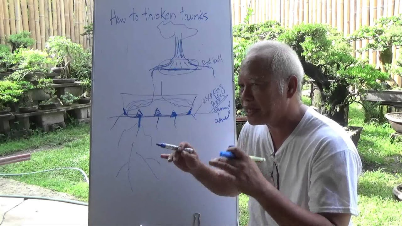 Bonsai Tutorials For Beginners How To Thicken Trunks Bonsai Courses