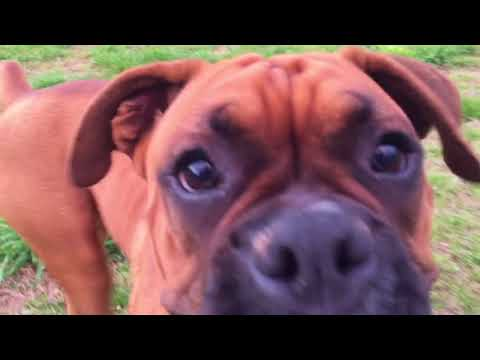 Funny Boxer dogs playing in the spring and summer weather.