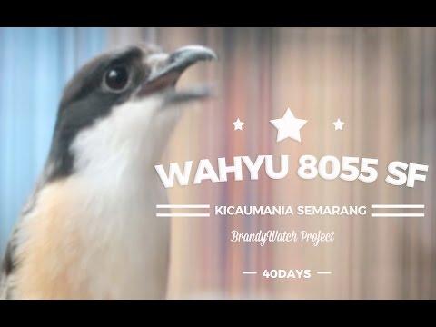 SUARA BURUNG : Duel Seru Adu Gacor Cendet WAHYU 8055 SF Semarang (Bacem VS Roll Speed)