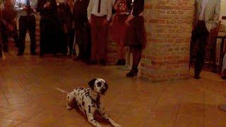 Dalmatian Gaston And Lenka First Showtime In Dogdancing 21.02. 2015 :)
