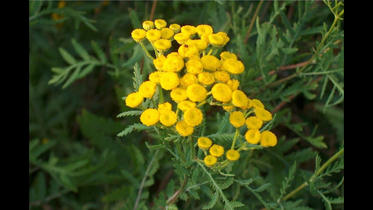 Пижма фото цветка