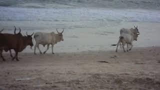 SENEGAL 2015 - Bétail sur la plage - images jp gaslain
