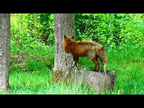 German Wildlife - Tiere des deutschen Waldes