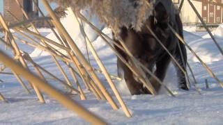 Австралийский келпи на зимней прогулке(Австралийский келпи — гибкая, активная собака, превосходно сочетающая мускульную силу с большой гибкостью..., 2011-12-11T14:25:58.000Z)