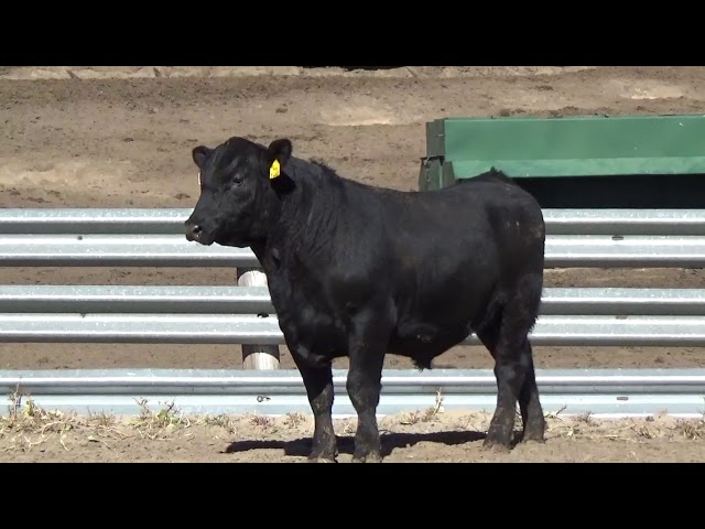 Connealy Angus Lot 172