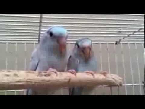 Rare Pacific Parrotlet
