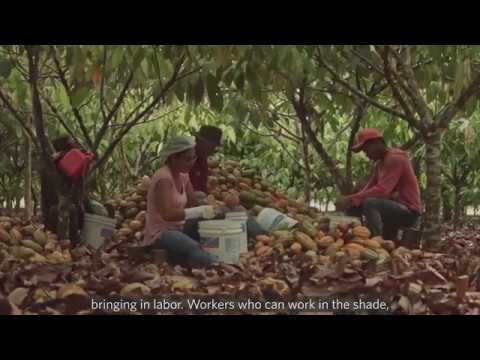 Forest Cocoa: sustainable cocoa and forest conservation in the Amazon