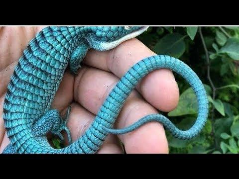 Вопрос: Как называется этот вид ящерицы(см. фото)?