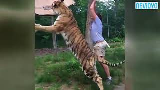 Vahşi kaplan böyle saldırdı (Tiger attack)