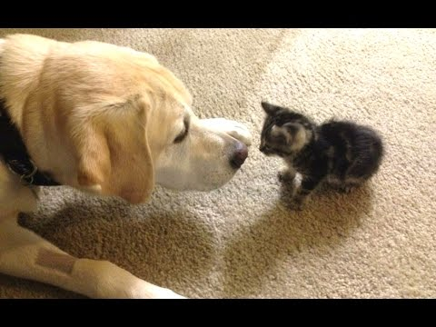 Dogs Meeting Kittens For The First Time Compilation 2016 || NEW HD