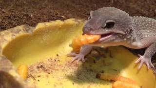 Leopard Geckos Eating Butterworms (in Slo-Mo) | BigAlsPets.com