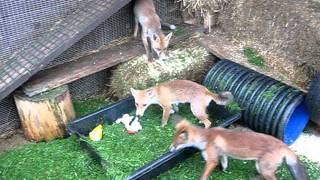 Fox cubs 2011 - Fresh grass & toys frenzy by Amber featuring Big Squeak & Benji