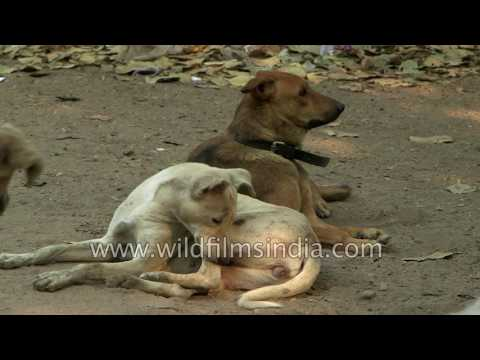 Street dogs of Delhi surround a foreign tourist, shelter under a car
