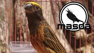 Download Cukup 4 menit burung manyar anda langsung ikut nyaut dan gacor