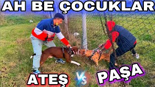 ATEŞ VS PAŞA !! ( Pitbull vs Amstaff )