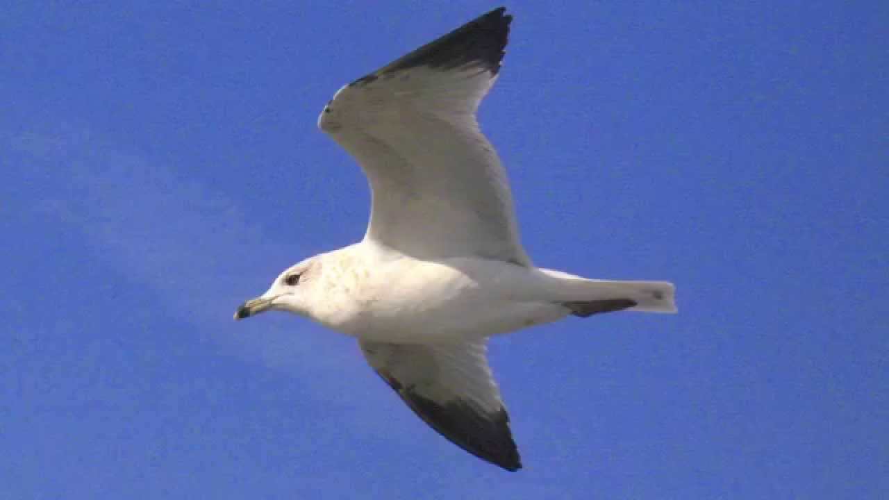 Seagull Sounds At The Ocean Youtube
