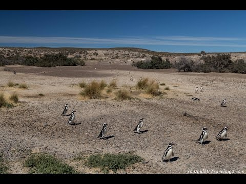 Magellanic penguins at Punta Tombo in Patagonia, Argentina 2