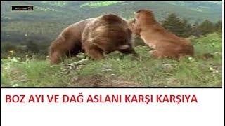 Boz ayı ve dağ aslanı karşı karşıya