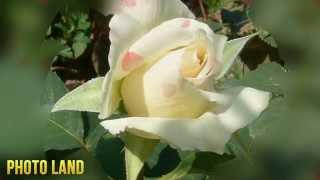 О роза, королева сада! || PHOTO LAND (роза, розы фото, цветы розы, роза цветок, розы видео)(О роза, королева сада! || PHOTO LAND (роза, розы фото, цветы розы, роза цветок, розы видео) Все необходимое для фотог..., 2015-03-05T11:30:32.000Z)