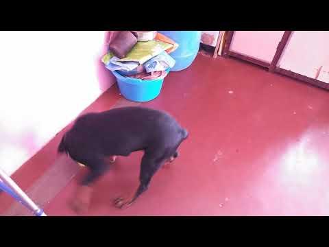 Rottweiler Dog training