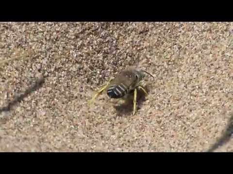 Sand Wasps (Bembix sp.) excavating burrows - Petit-Cap, New Brunswick - 16 July 2013