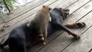 Coon dog rock and raccoon ringo playing