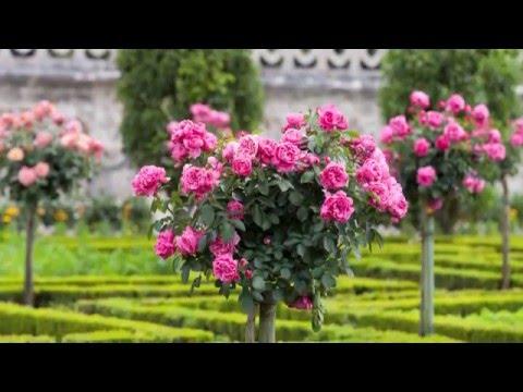 rosen pflanzen f r ihren garten youtube