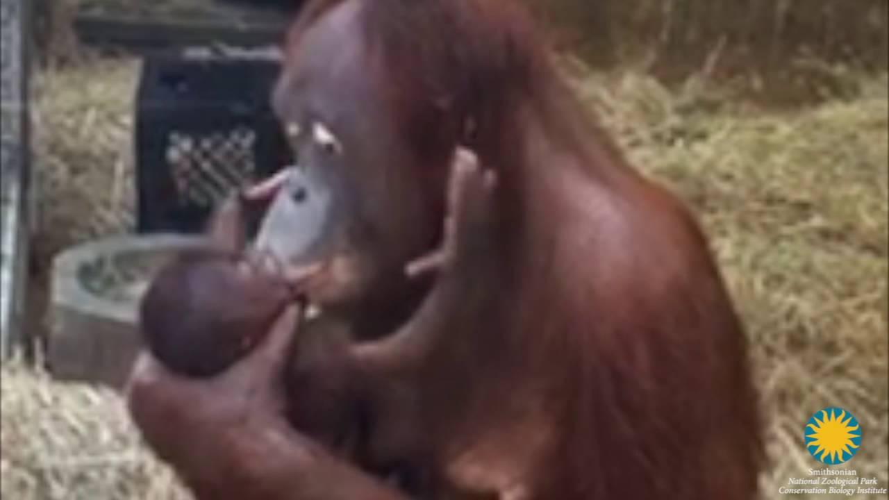 Orangut�n beb�