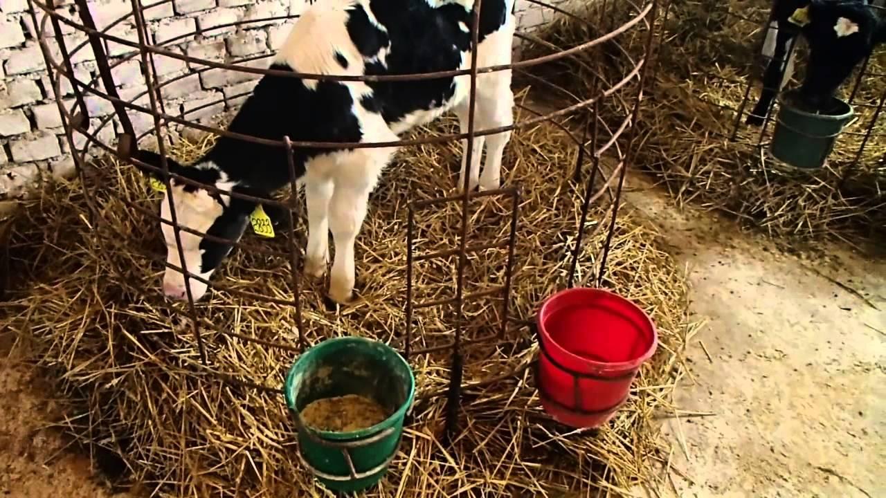 Как вырастить тёлку. How to grow a healthy calf.