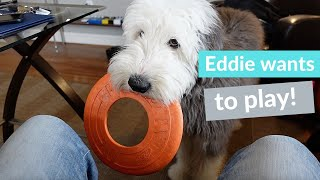 Our Old English Sheepdog, Edison wants me to play fetch.