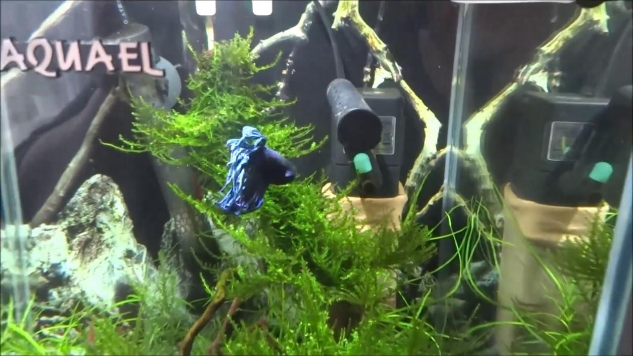 Bojownik Syjamski W Akwarium 30l Nano Akwarium Aquael Youtube
