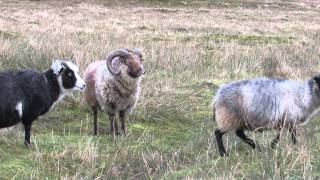 Ram Meets his Ewes