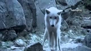 Вольная стая   Волчья стая фильм Выживая с волками