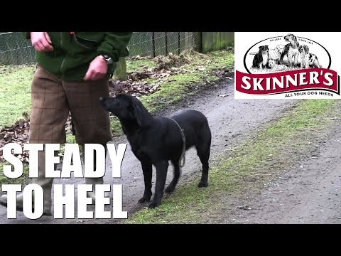 gundog-training-tips---steady-to-heel