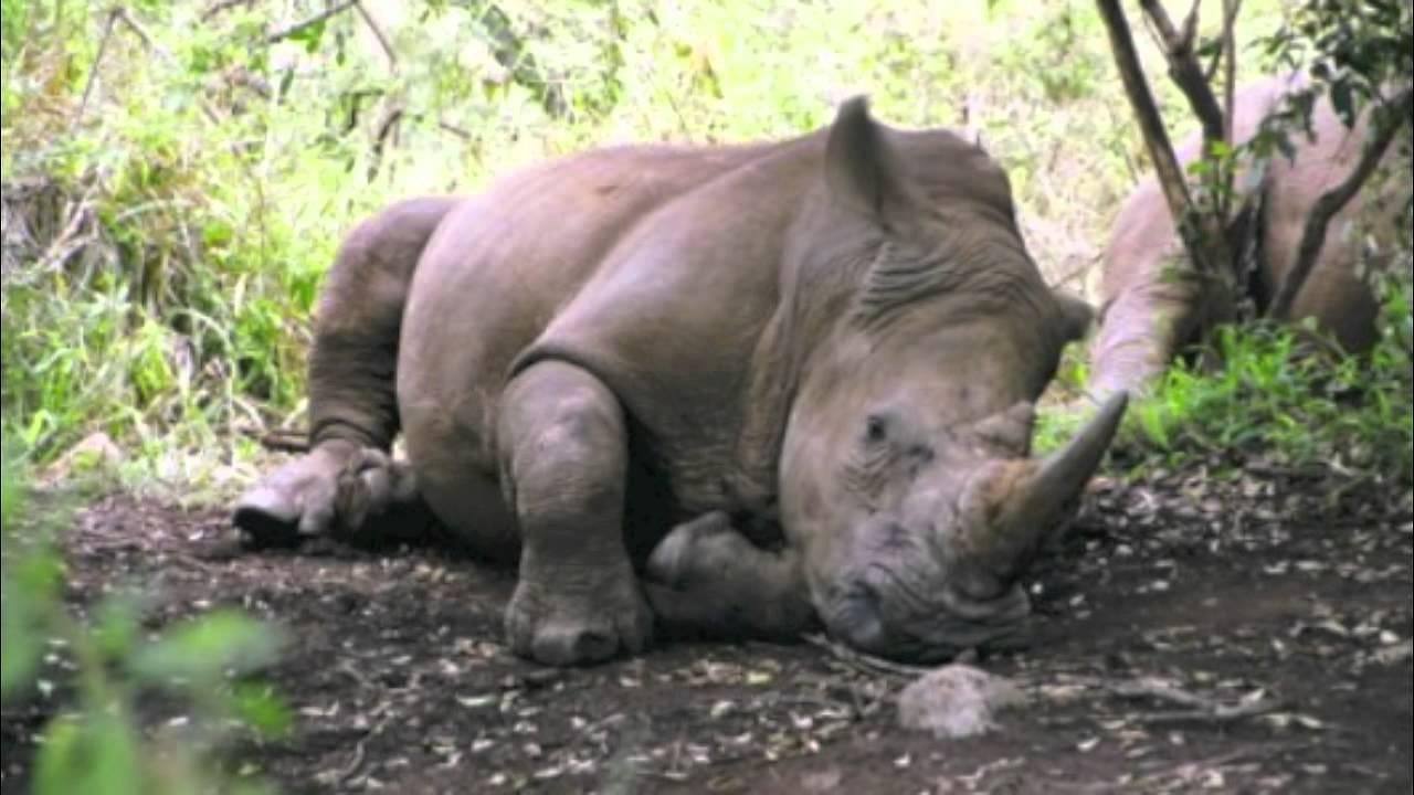 Sleeping Baby Rhino Stock Images - Image: 27813234