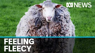 Fleecy fugitive, Prickles the sheep, has her fleece clipped for the first time | ABC News