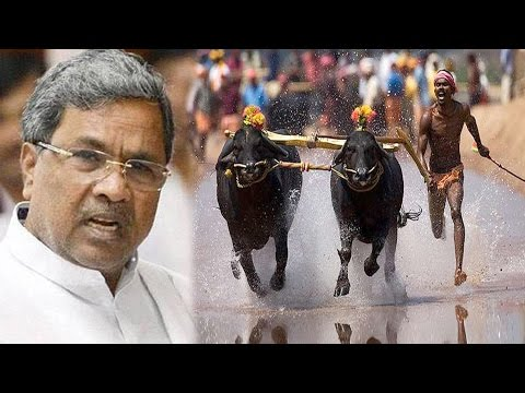 Karnataka Now Wants Buffalo Racing Sport Kambala Legalised
