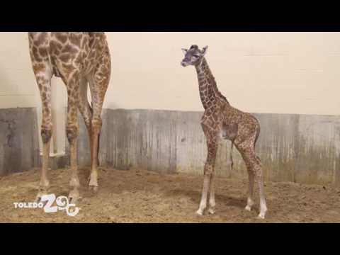 New Giraffe calf!
