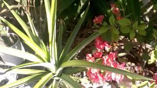 Как растет АНАНАС , ИМБИРЬ и другое!!! Тропическое растение. Доминикана(Всем салют! Мой задний дворик с ананасом и другими тропическими растениями ) Так же смотрите другие видео:..., 2016-04-04T19:44:00.000Z)