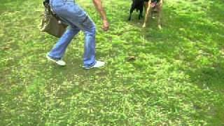 Malinois And Other Dogs Playing At Villa Lobos Park