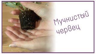 видео Спасаем комнатные растения от вредителей и болезней - Все буде добре - Выпуск 282 - 05