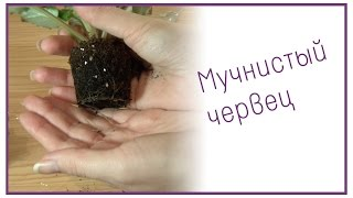 Мучнистый червец на фиалках(, 2014-11-16T17:45:06.000Z)